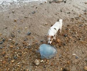 Jellyfish on Shoreham Beach