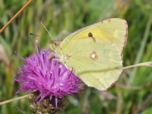 A Clouded Yellow butterfly visits Black Knapweed in the long grass