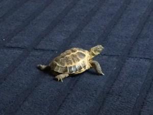 Reggie the escapologist tortoise