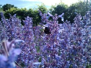 bumble bee visiting a salvia at Level