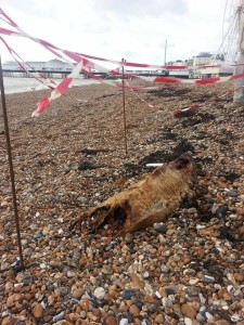 The remains of the porpoise washed on the beach