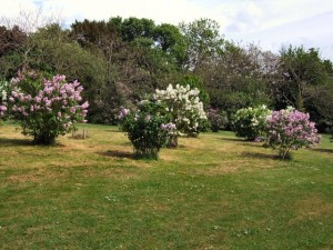 Lilacs in Withdean Park by Paul Gillet on www.geograph.org.uk