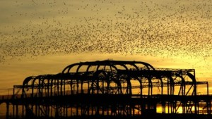 Starlings - picture by Chris Mole / RSPB