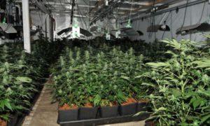 Cannabis farm North Chailey